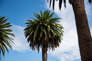 Palm Trees in New Zealand