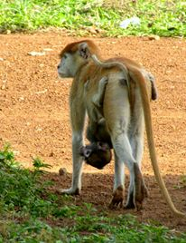 Monkey and baby going for a stroll.