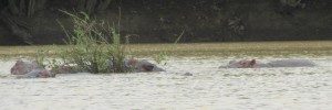 Lounging hippos in the middle of the Black Volta River.