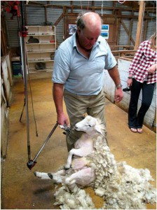 Don't worry, the sheep isn't hurt at all!