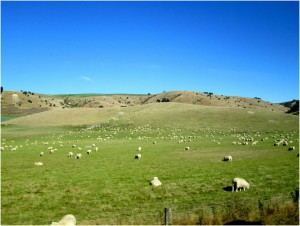 There are a few sheep in New Zealand. Just a few.