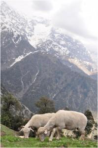 Sheeps grazing on a mountain