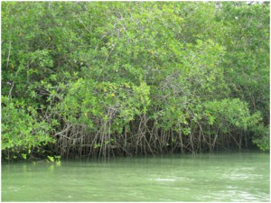 """You gotta' give these mangroves """"props""""."""