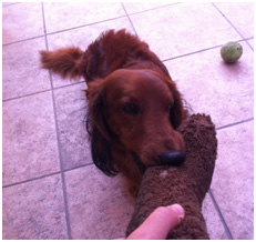 Playing with my host wiener dog