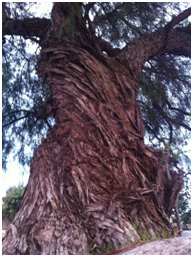 """My favorite tree in Arica, on my way to class. We call it the """"Sabiduria Tree,"""" which means """"wisdom."""""""