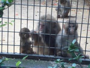Baby monkey fed by mama